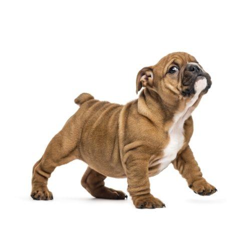 english-bulldog-puppy-standing-isolated-on-white-EKQ74AB