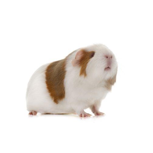 guinea-pig-in-studio-PFB9RFT