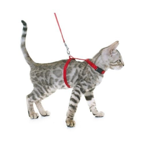 silver-bengal-kitten-and-harness-PPFE7GT