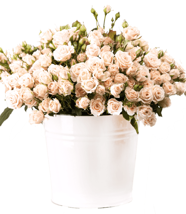 bunch-of-creamy-roses-in-a-bucket-over-white-PLJ554Y