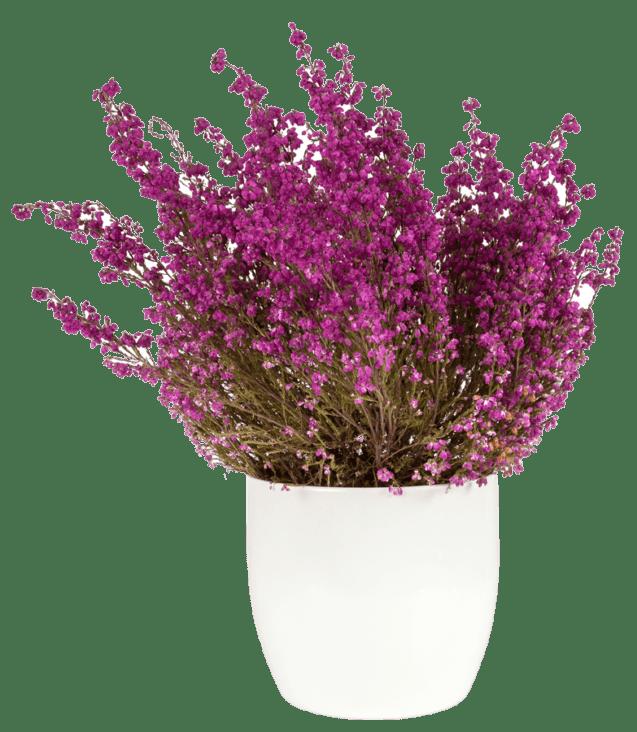 purple-heather-in-the-white-pot-P43SKSJ